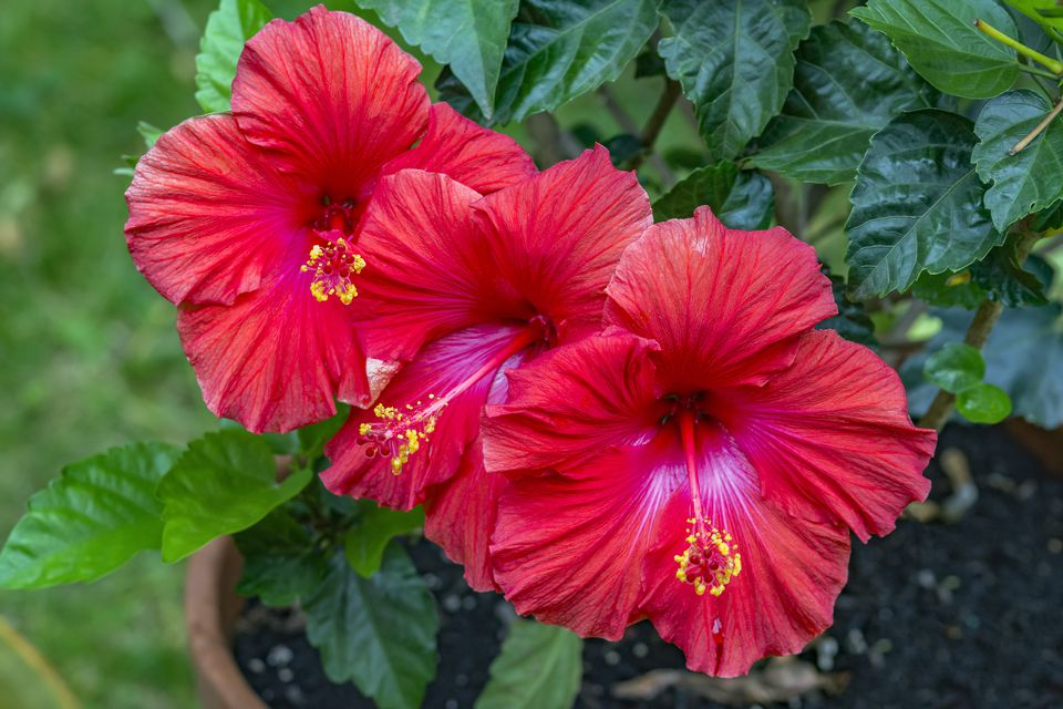 Trio of vibrant red hibiscus flowers with bright yellow stigma growing in garden pot