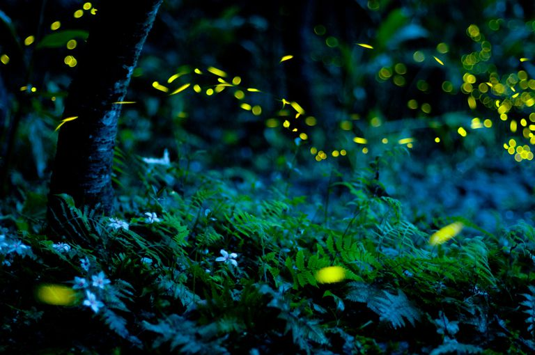 Why the Firefly (Hotaru) Is Important in Japan?
