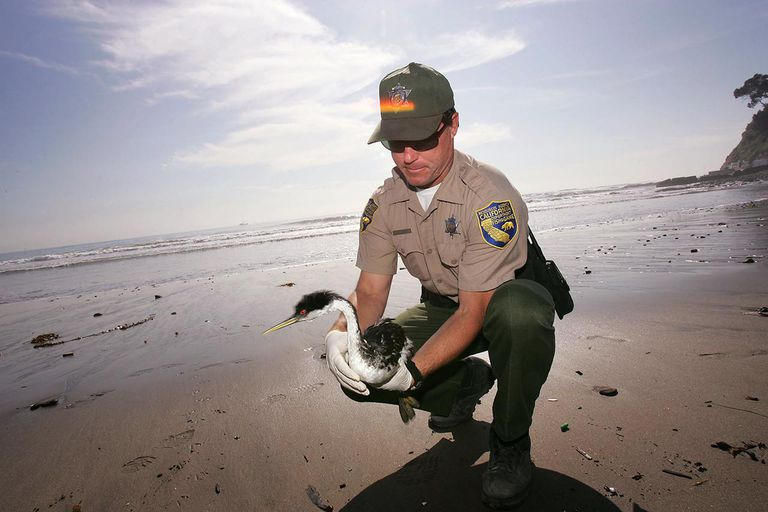 Mysterious Oil Spill Hurts Hundreds Of Sea Birds