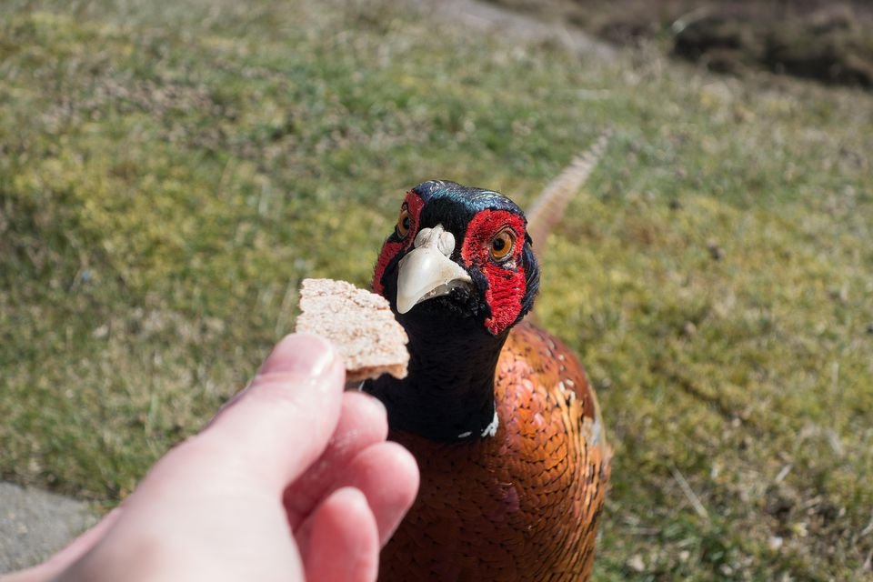 Pheasant eating from a hand