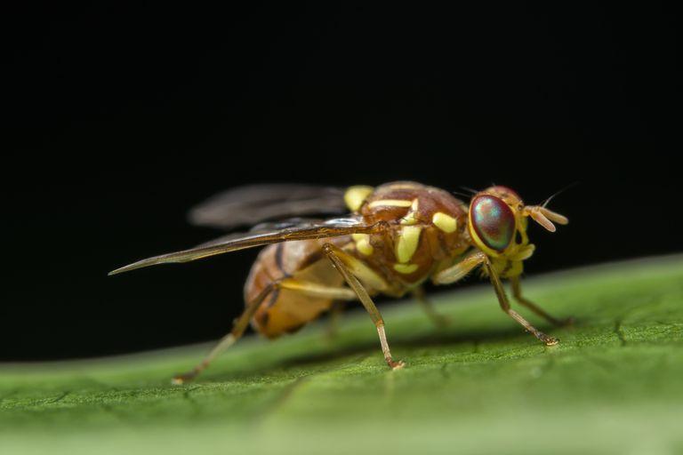 Surface Level Shot Of Fruitfly On Leaf