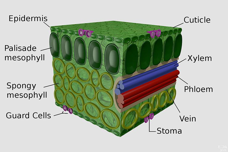 Plant Leaves and Leaf Anatomy  Plant Leaves an...