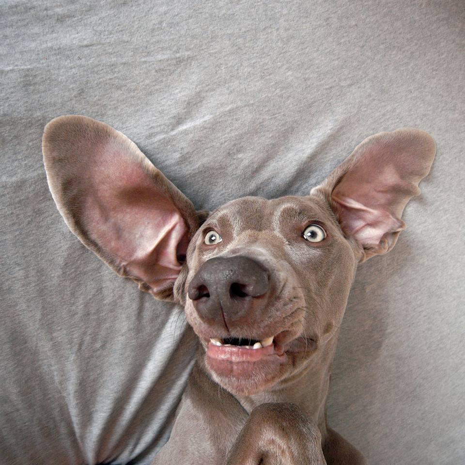 dog lying in bed, big ears