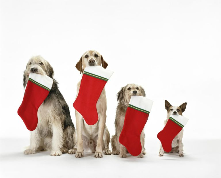 Four dogs with holiday stockings