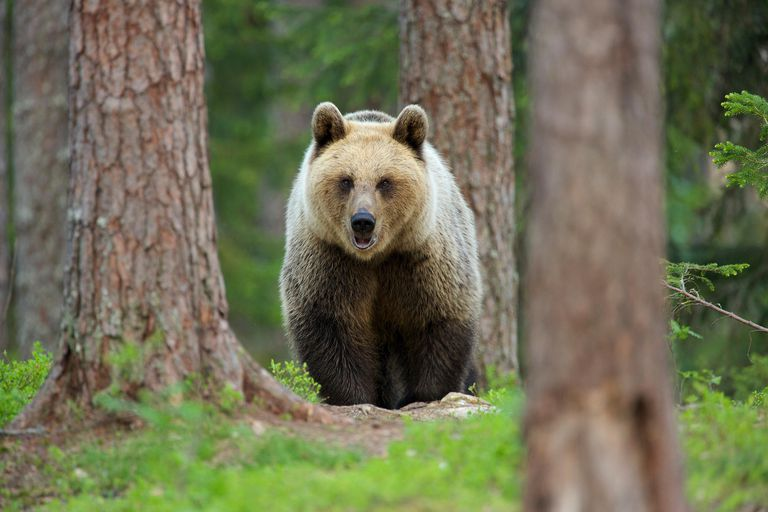"""The Bernard surname derives from terms meaning """"strong or brave as a bear."""""""