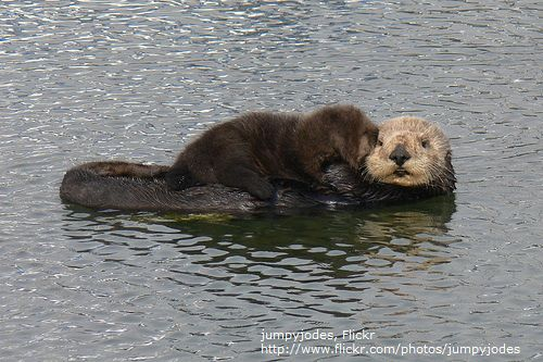 Sea Otter With Pup / jumpyjodes, Flickr