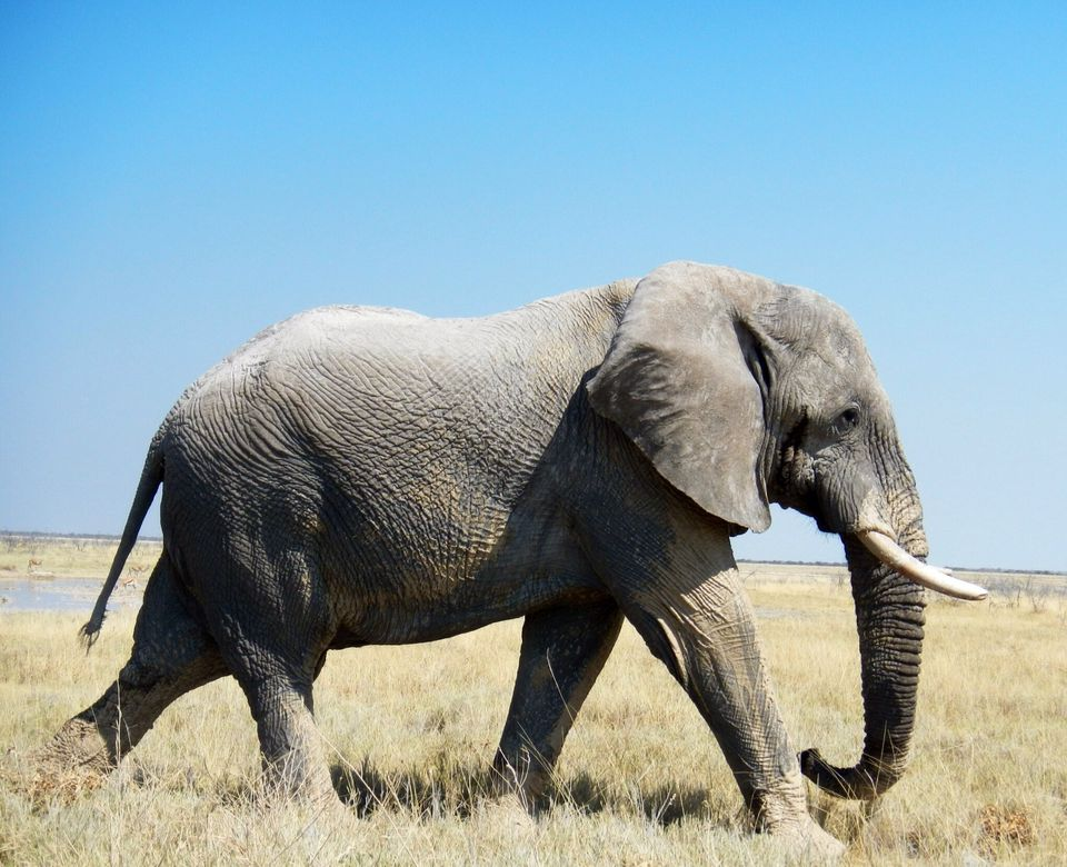 African Elephant Walking On Grassy Field Against Clear Blue Sky During Sunny Day