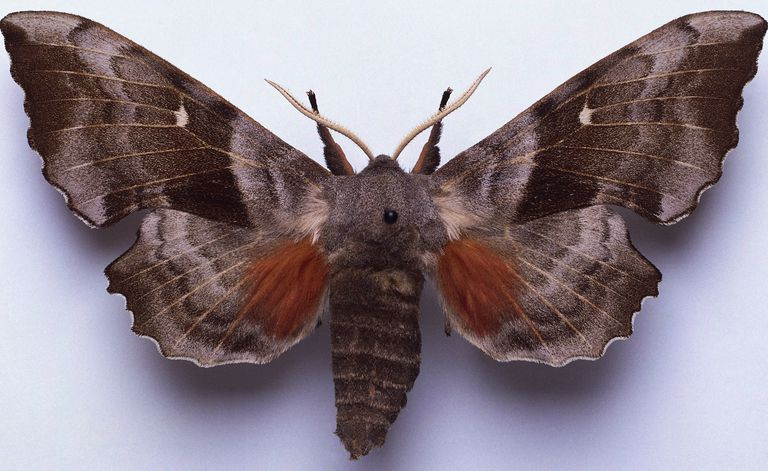 Poplar Hawk-moth, Laothoe populi, mounted male