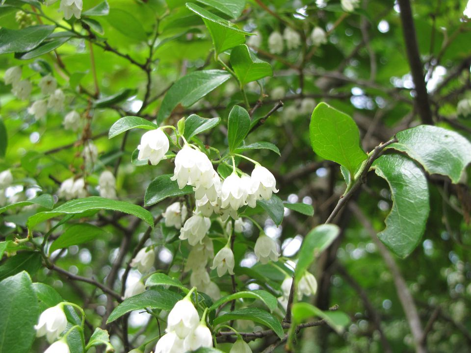 Picture of sparkleberry flowers