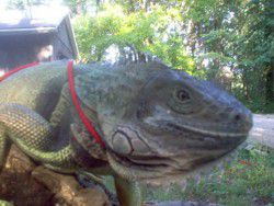 Green Iguana Photo - Zilla