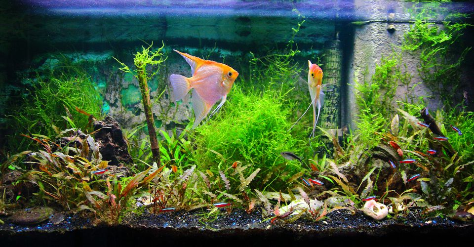 Tropical fresh water aquarium front view with lush foliage plants and some fishes yellow Pterophyllum Scalare and Cardinalis neon