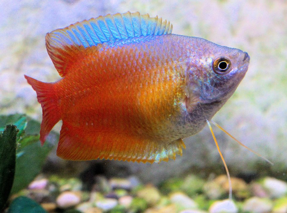 dwarf gourami fish breed profile