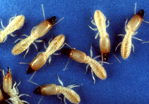 Eastern subterranean termite soldiers have rectangular heads and powerful jaws.