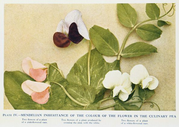Mendelian inheritance of colour of flower in the culinary pea, 1912.