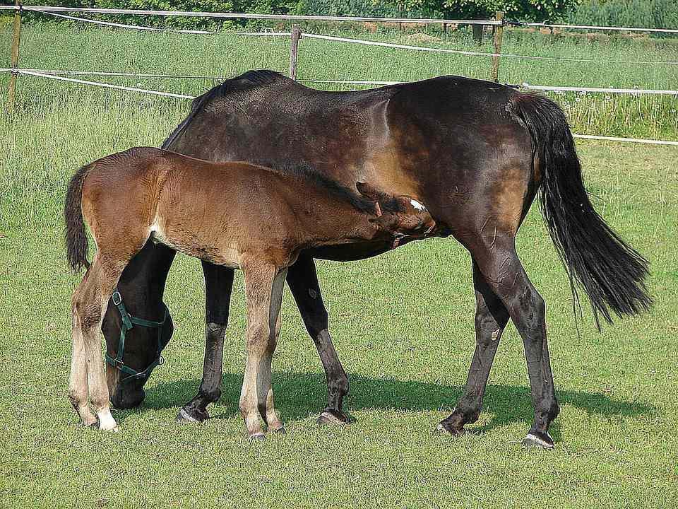 Nursing foal.