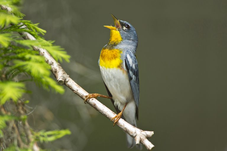 Northern Parula male singing in breeding territory.