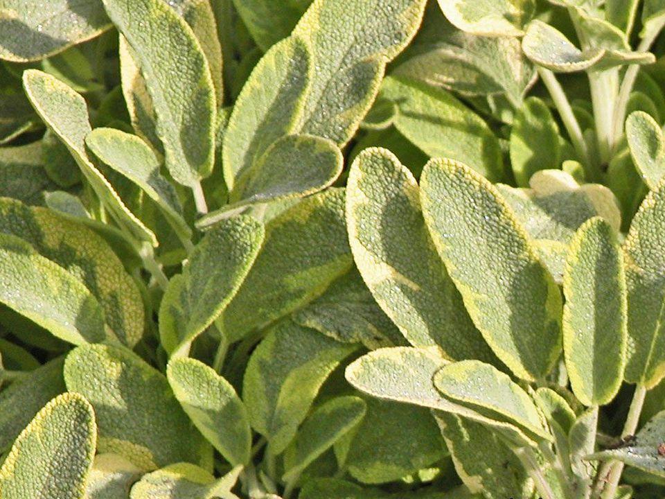 Golden Sage