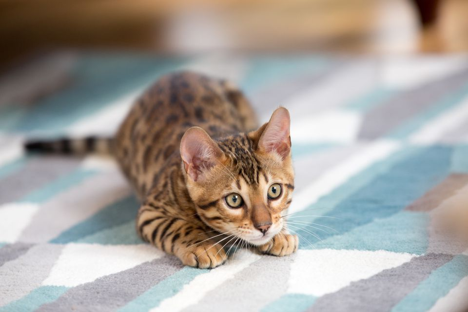 What Is The Best Cat Litter To Prevent Urinary Issues
