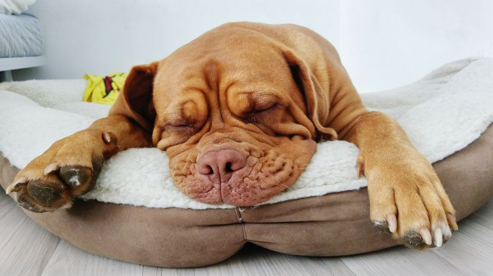 Brown Dog Sleeping In Pet Bed At Home