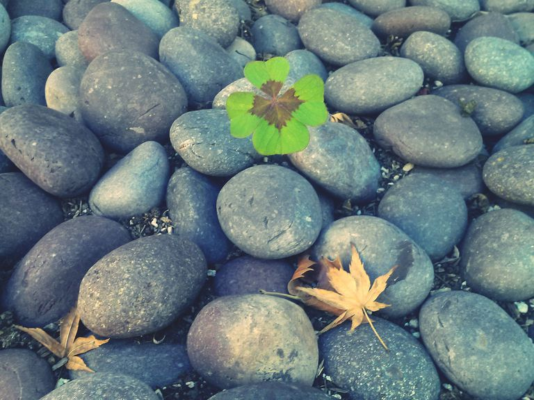 Clover Growing Between Stones
