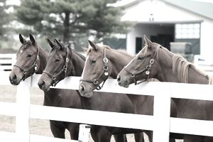 Thoroughbreds on a Kentucky farm
