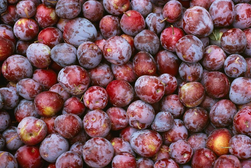 Freshly Harvested Simca Plums