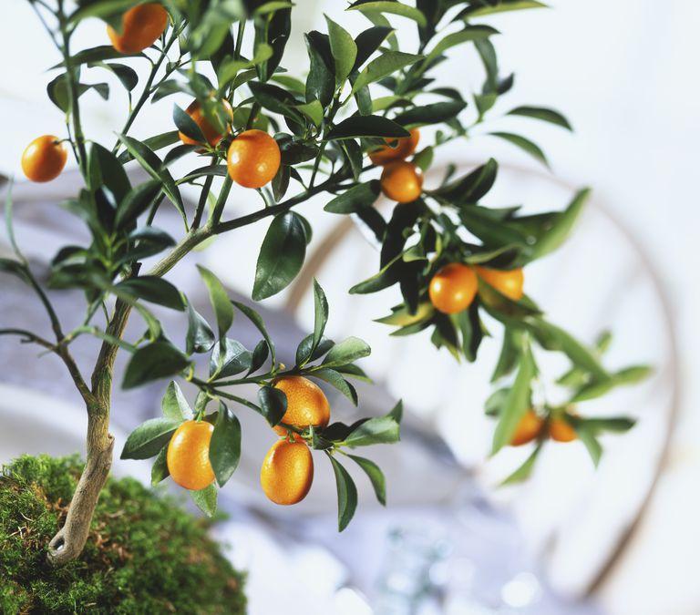 El kinoto o kumquat