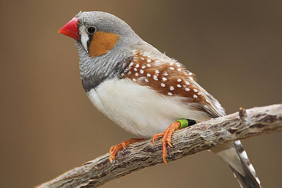 The Zebra Finch, Taeniopygia guttata, is the most common and familiar estrildid finch of Central Australia and ranges over most of the continent
