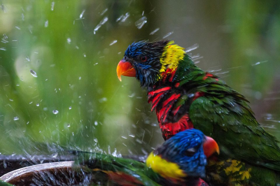 Lorikeets bathing