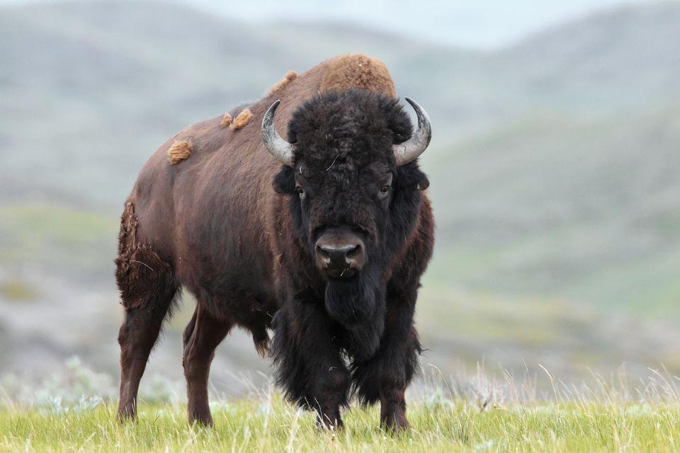 Plains Bison, B. bison, bull, Grasslands National Park, Saskatchewan, Canada