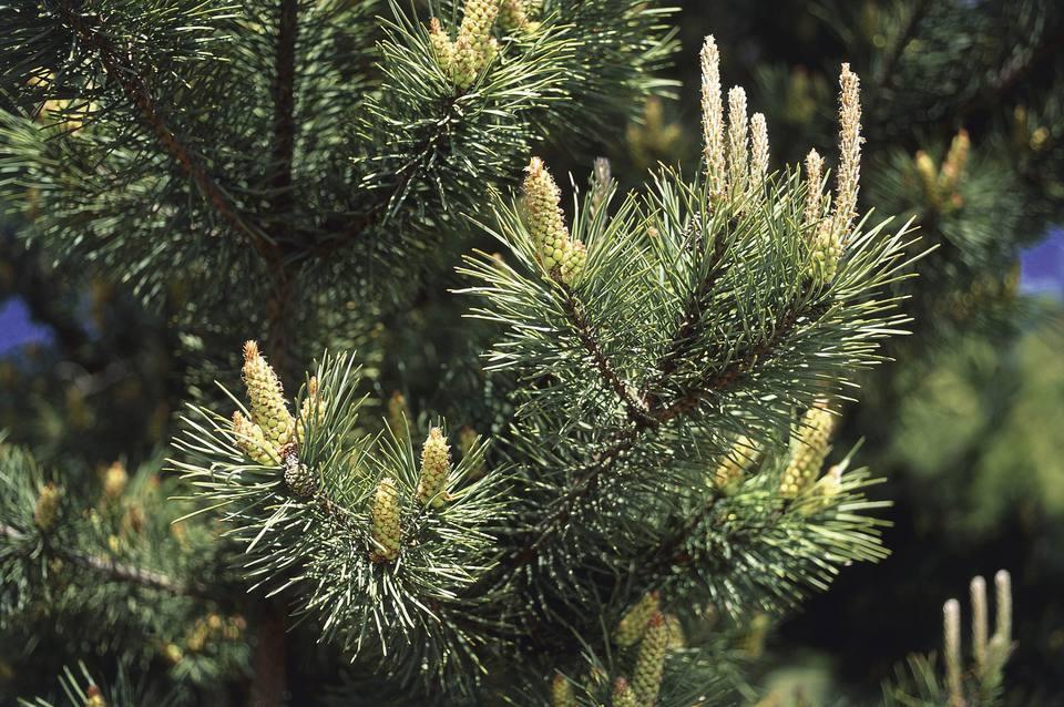 Scotch Pine Branches