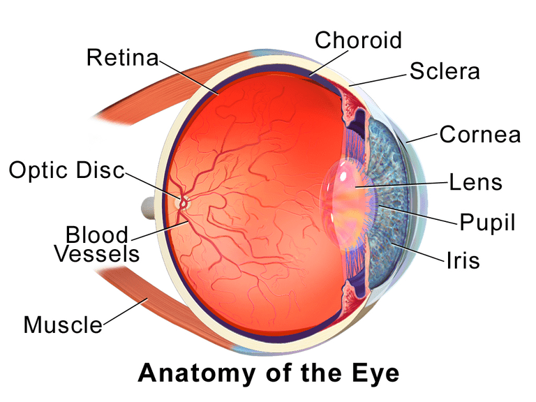 EyeAnatomy_01.png used under a Creative Commons license at http://en.wikipedia.org/wiki/Choroid#/media/File:Blausen_0388_EyeAnatomy_01.png