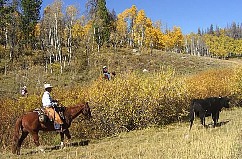 Cattle drive at Vista Verde Guest Ranch in Colorado