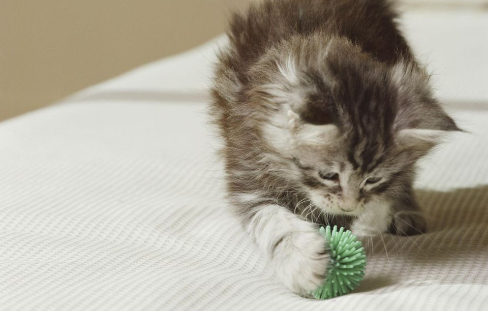 Maine Coon kitten playing with toy on bed