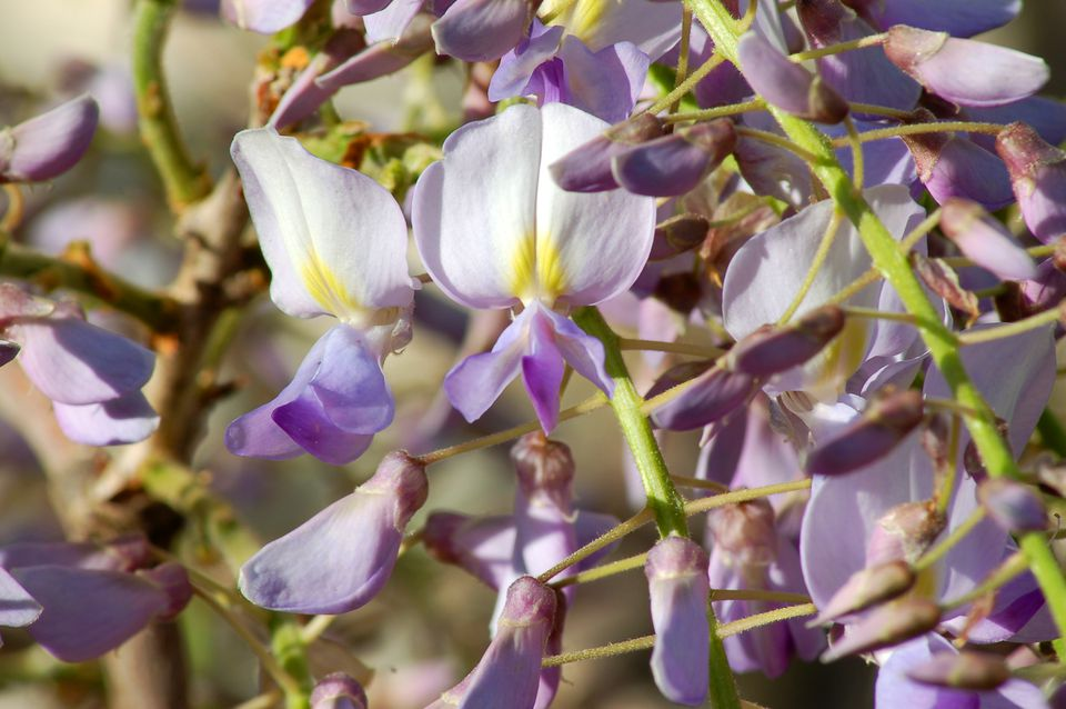 Wisteria (image) is very popular. The vines are widely used in North America.