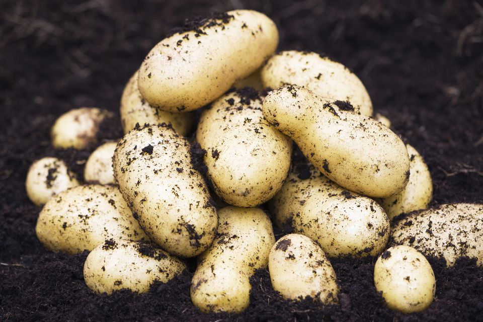 new potatoes just harvested