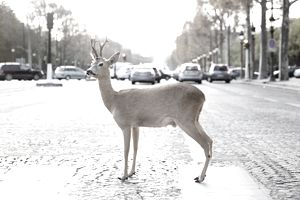 Deer on Crosswalk