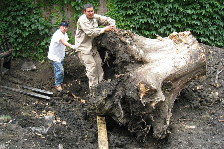 digging up tree stump