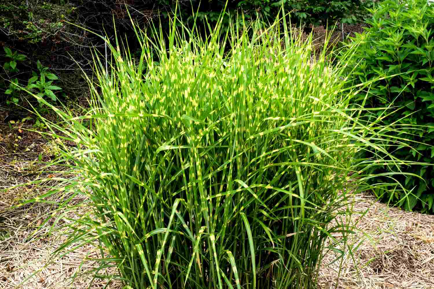 Tall Ornamental Grass Varieties 12 ornamental grasses that will stop traffic workwithnaturefo