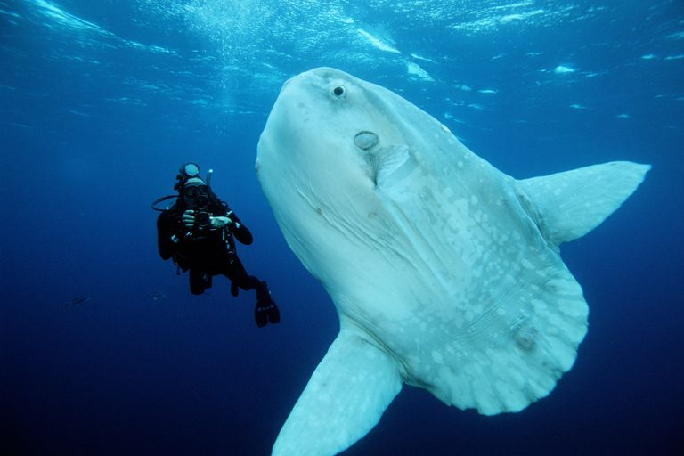 Ocean Sunfish / Mark Conlin / Oxford Scientific/Getty Images