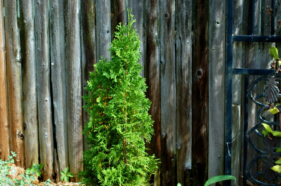 North Pole (image) is resistant to winter burn. That's a big problem for arborvitae.