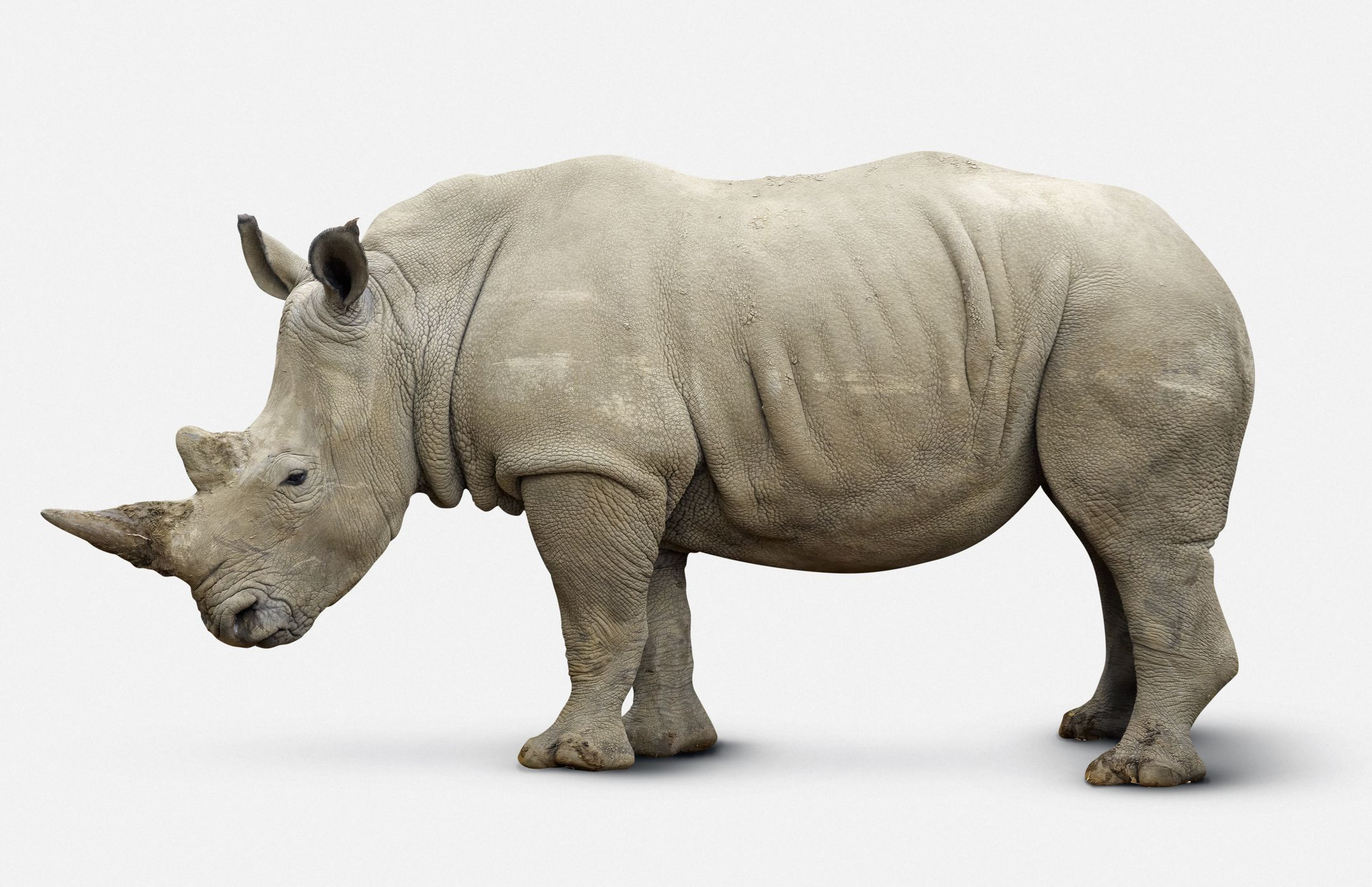N White Rhino 10 Facts About ...