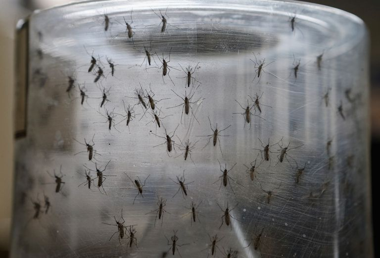 Aedes aegypti mosquitos are seen in a lab at the Fiocruz institute on January 26, 2016 in Recife, Pernambuco state, Brazil. The mosquito transmits the Zika virus and is being studied at the institute.