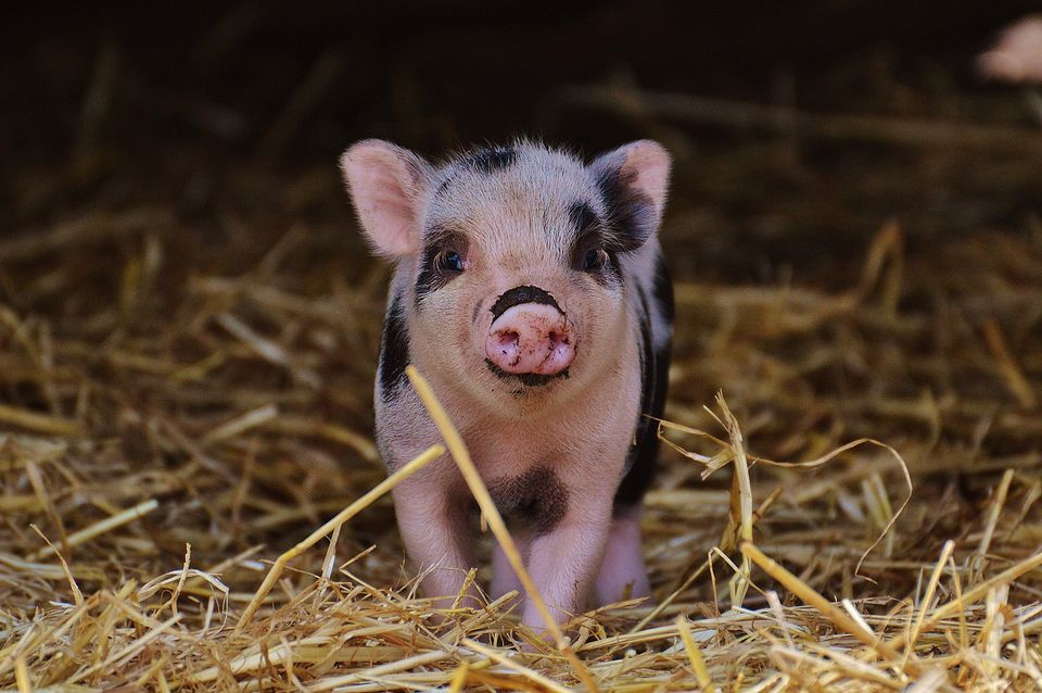 piglet standing on hay