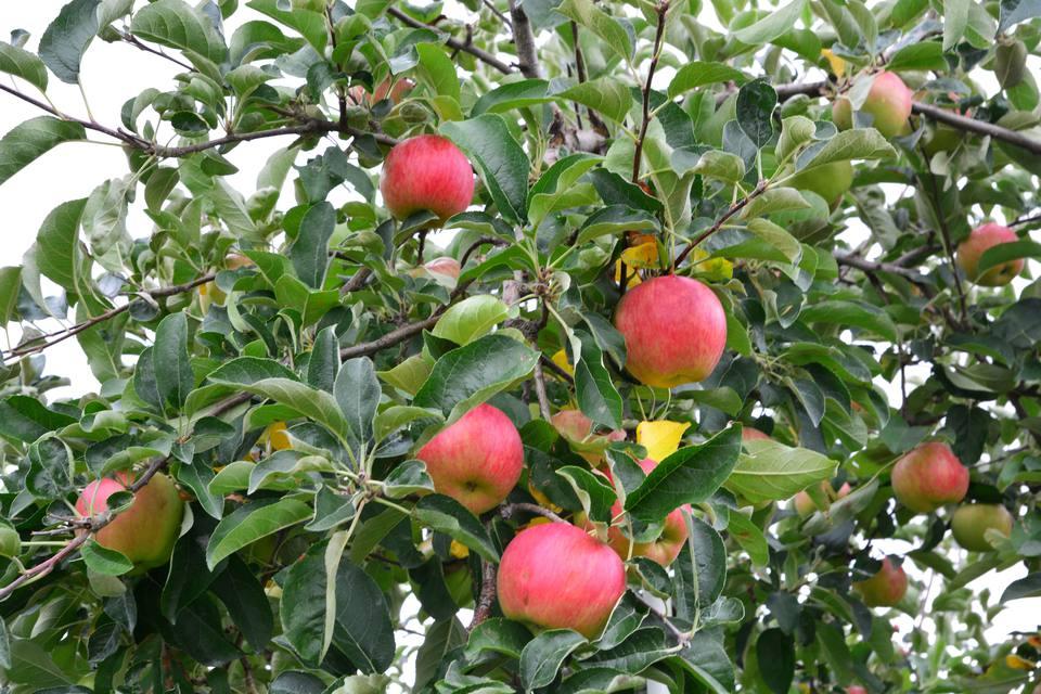 Apple (Malus domestica)