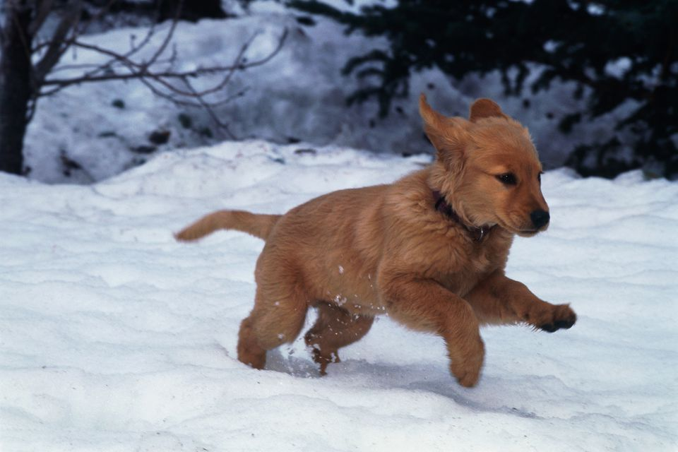 Puppies love snow but can become too cold very quickly