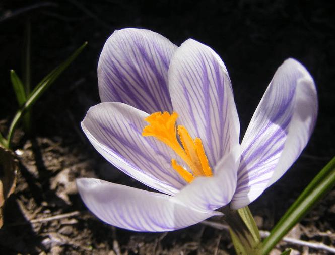 Saffron Flower (Crocus sativus)
