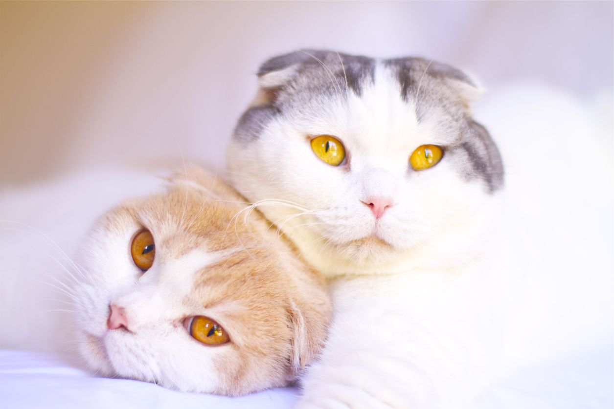 Scottish Fold Cat Breed Profile