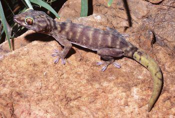 Leopard Gecko Armpits  Fat Leopard Geckos