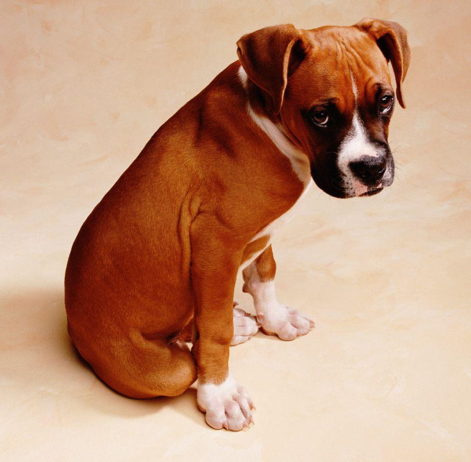 boxer dog looking ashamed